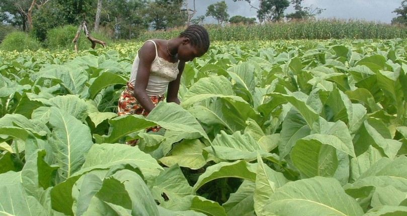 Tobacco-farming2-1200x640